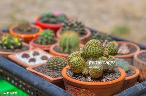 beautiful small cactus tree clay pots
