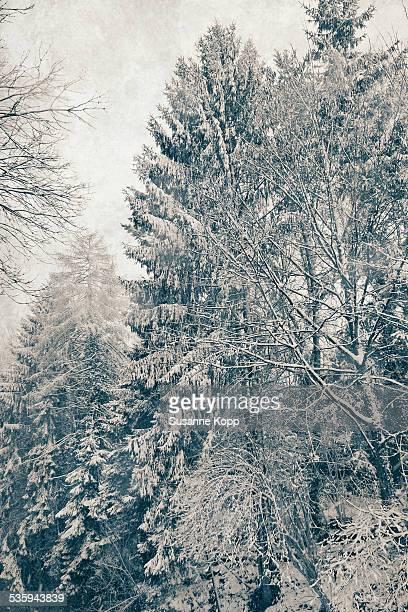 beautiful snow-covered trees - foresta temperata foto e immagini stock