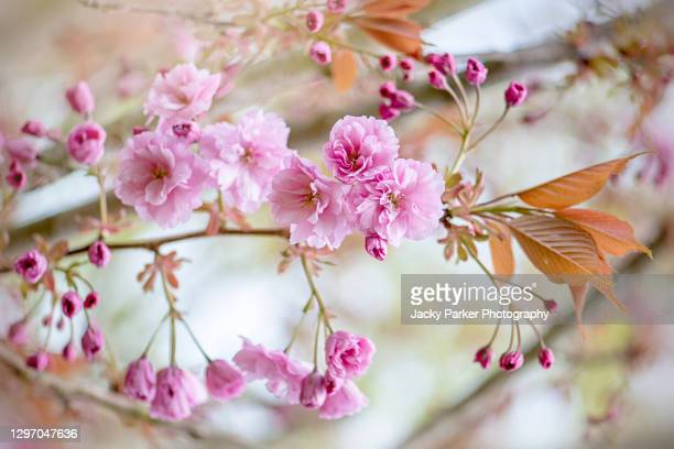 beautiful soft pink spring cherry blossom flowers and buds on the prunus 'kanzan' tree, a japanese flowering cherry tree - cherry blossom stock pictures, royalty-free photos & images