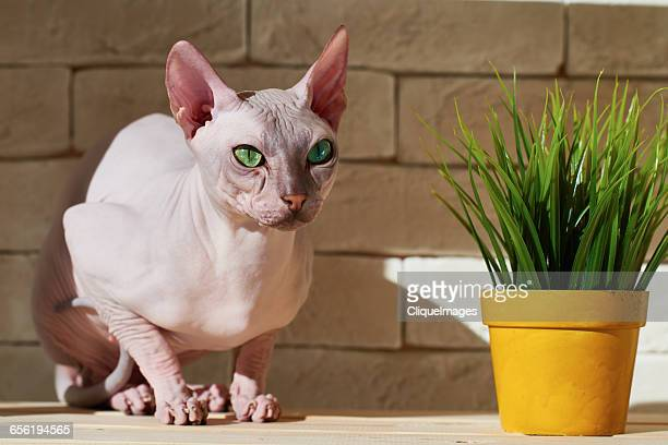 beautiful sphynx cat - cliqueimages stock pictures, royalty-free photos & images