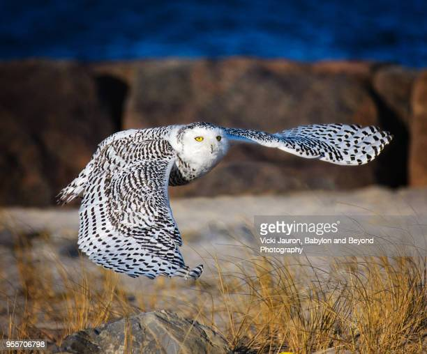 beautiful spread wings as snowy owl looks at camera at jones beach - jones beach stock pictures, royalty-free photos & images