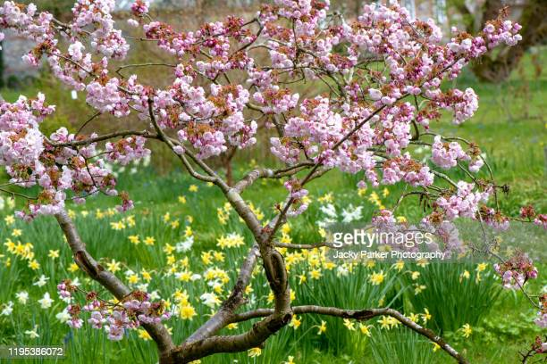 beautiful spring blossom of the japanese flowering ornamental cherry tree with vibrant yellow daffodils - cherry blossom stock pictures, royalty-free photos & images