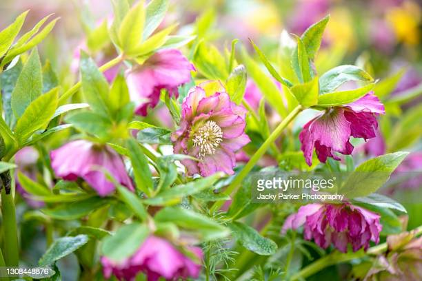 beautiful spring, double hellebore pink flowers also known as lenten rose - ヘレボルス ストックフォトと画像