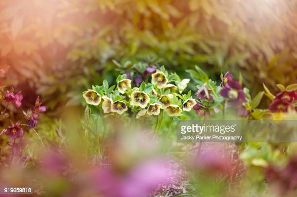 beautiful spring flowering hellebore flowers also known as lenten roses or christmas roses - ヘレボルス ストックフォトと画像