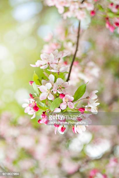 beautiful spring flowering white and pink crab apple blossom also known as malus sylvestris - apple blossom tree stock pictures, royalty-free photos & images
