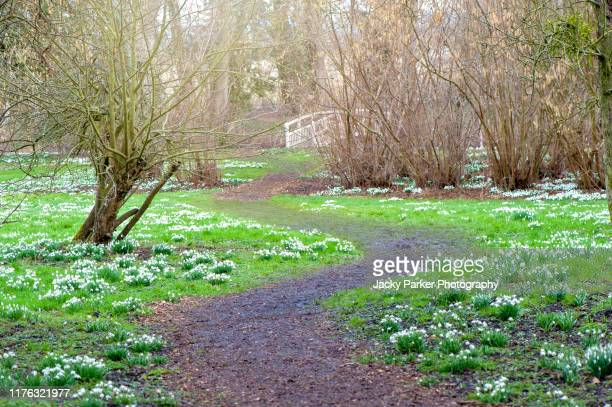 beautiful spring flowering, white snowdrop flowers - galanthus nivalis growing alongside a winding path - snowdrop stock pictures, royalty-free photos & images