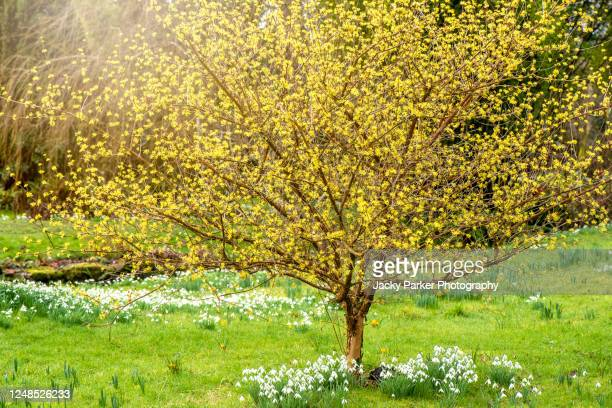 beautiful, spring flowering, yellow flowers of corylopsis glabrescens fragrant winter hazel - springtime stock pictures, royalty-free photos & images