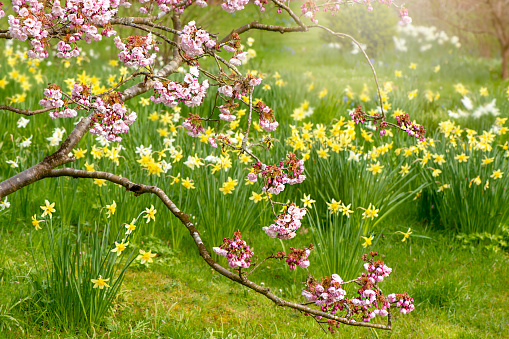 Beautiful spring garden with pink Cherry Blossom flowers and yellow Daffodils in soft sunshine - gettyimageskorea
