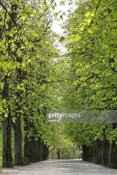 beautiful spring path - picture of a buckeye tree stock photos and pictures