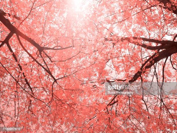 beautiful spring trees (image manipulation with living coral pantone, color of the year 2019) - coral colored stock pictures, royalty-free photos & images