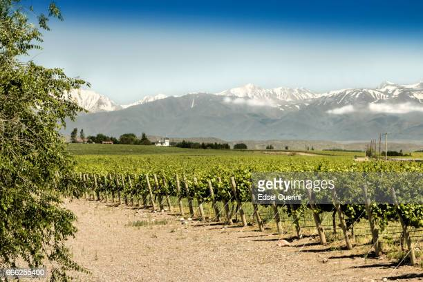 schönen frühling vineyards - argentinien stock-fotos und bilder
