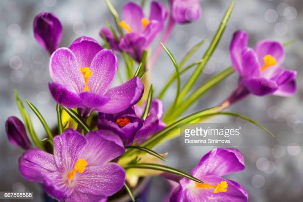 Beautiful springtime crocus flowers