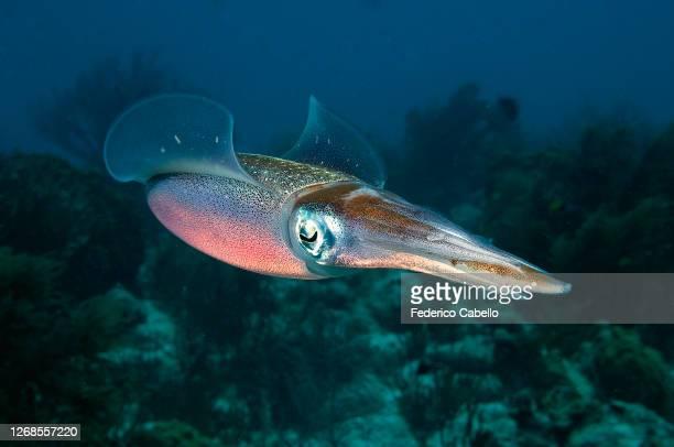 beautiful squid. bonaire reef - オランダ領リーワード諸島 ストックフォトと画像
