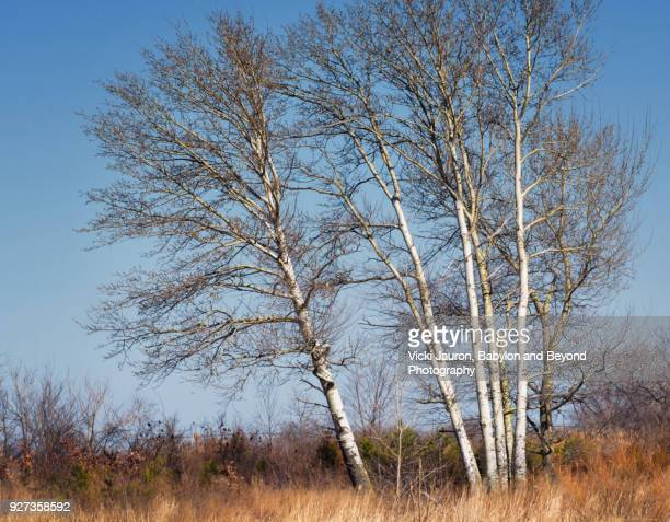 Beautiful Stand of Birch Trees