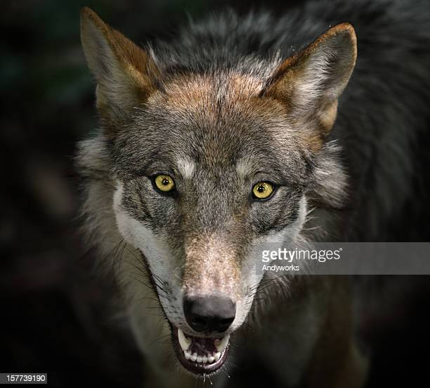 Beautiful Staring Gray Wolf