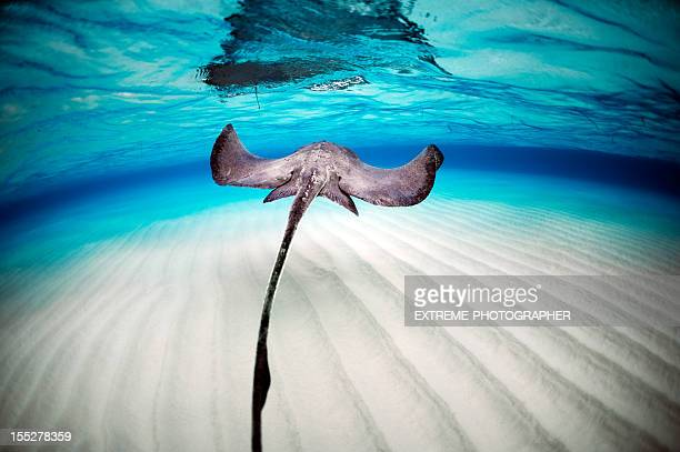 beautiful stingray - stingray stock photos and pictures