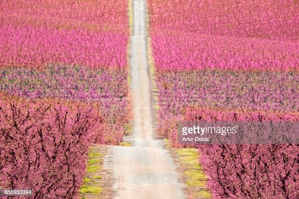 beautiful straight road between the blooming peach trees during springtime in the catalonia countryside with stunning landscape. - crosses with flowers stock pictures, royalty-free photos & images