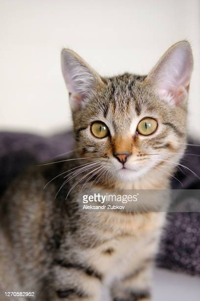 beautiful striped cute sad pensive grey kitten. pets and lifestyle concept. - 西シベリア ストックフォトと画像