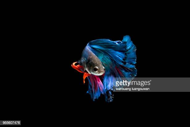beautiful style of siamese fighting fish - fish stock pictures, royalty-free photos & images