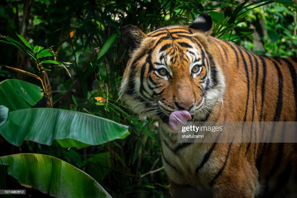 Beautiful Sumatran tiger on the prowl : Stock Photo