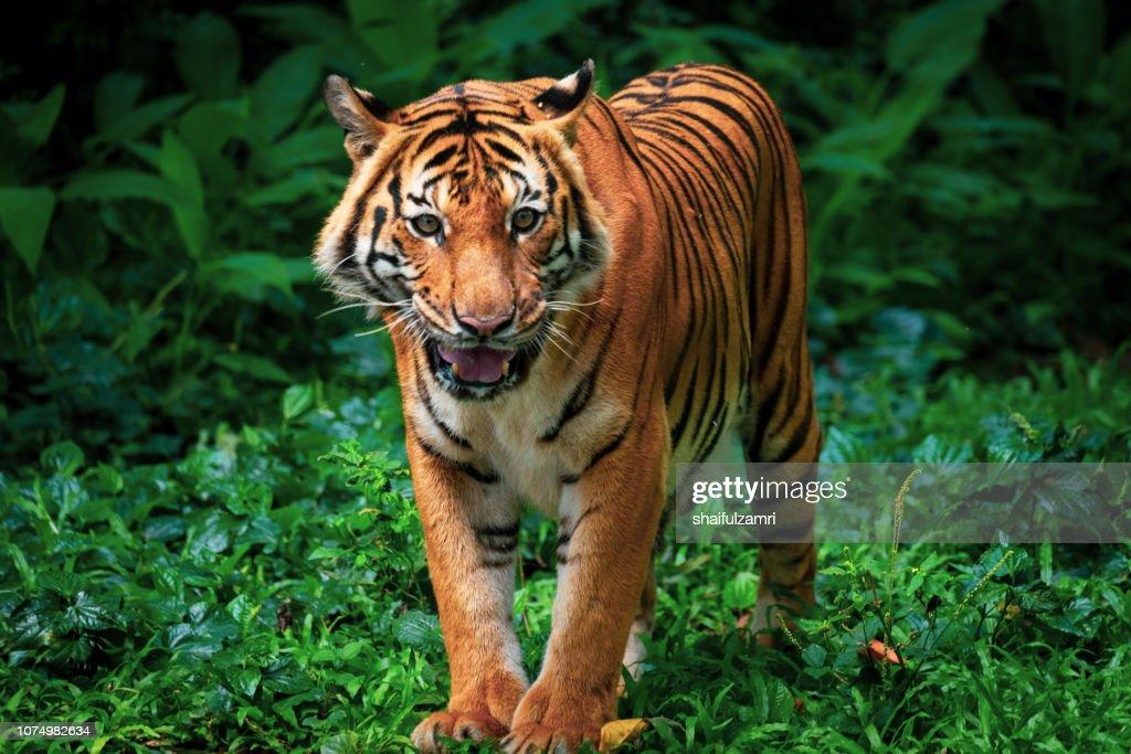 Beautiful Sumatran tiger on the prowl : Stock Photo