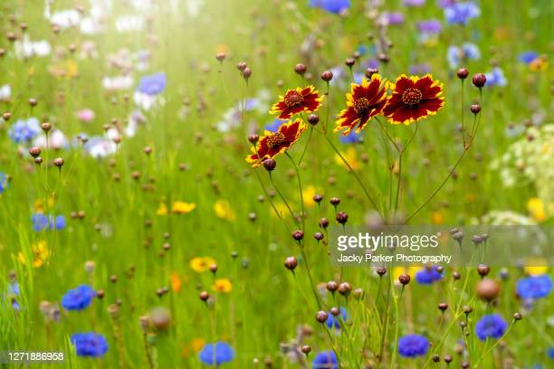 beautiful summer coreopsis flowers in a wildflower meadow also known as tickseed - meadow stock pictures, royalty-free photos & images