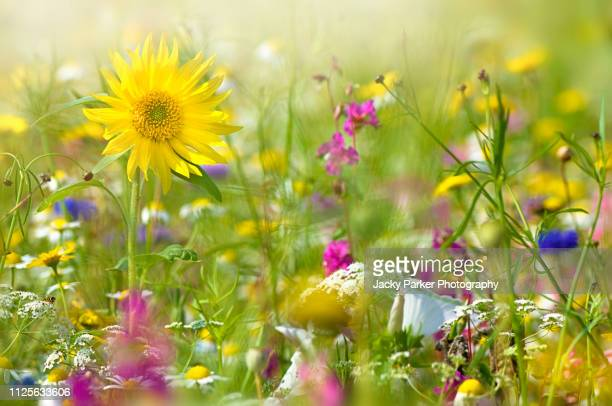 a beautiful summer english wildflower meadow with a vibrant yellow sunflower in hazy sunshine - bloesem stockfoto's en -beelden