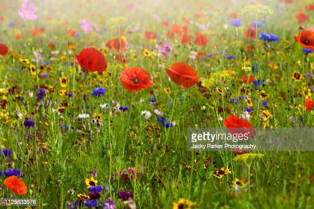 a beautiful summer english wildflower meadow with vibrant red corn poppies in hazy sunshine - flower head stock pictures, royalty-free photos & images