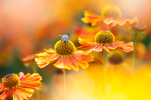 Beautiful summer flowering bright orange Helenium flowers also known as Sneezeweed with a Honey Bee collecting pollen - gettyimageskorea