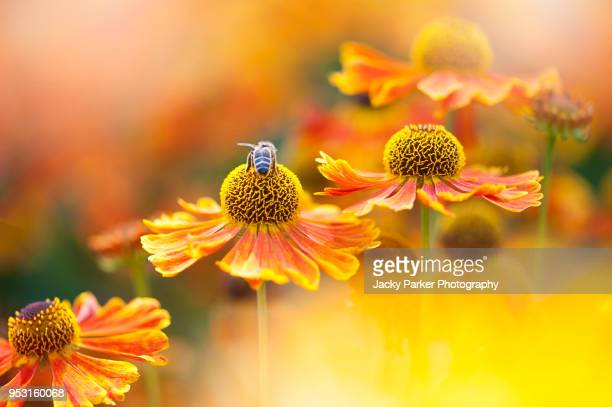 beautiful summer flowering bright orange helenium flowers also known as sneezeweed with a honey bee collecting pollen - bright beautiful flowers stock pictures, royalty-free photos & images