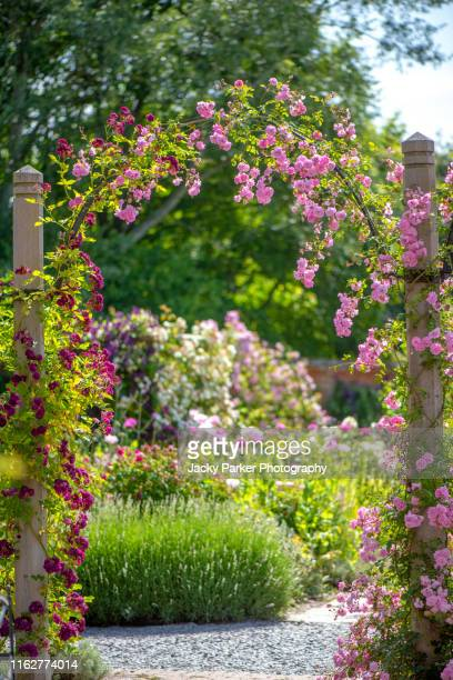 beautiful summer flowering, climbing roses on a garden arch in an english cottage garden - arch stock pictures, royalty-free photos & images