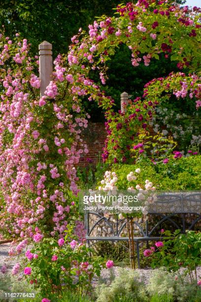 beautiful summer flowering, pink climbing roses in an english cottage garden - climbing stock pictures, royalty-free photos & images