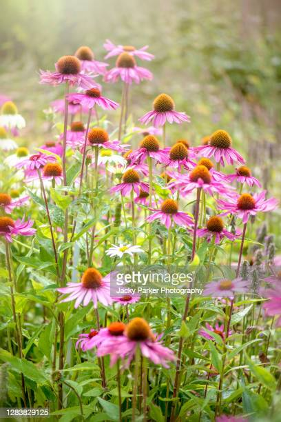 beautiful summer flowering, pink, echinacea purpurea flowers also known as coneflowers - magnoliophyta foto e immagini stock
