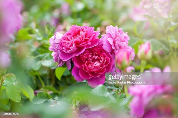 Beautiful summer flowering pink roses - Rosa 'Princess Ann'