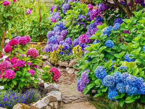 A beautiful summer garden, featuring a spectacular display of vibrant blue, pink and purple hydrangea flowers. 1165026699