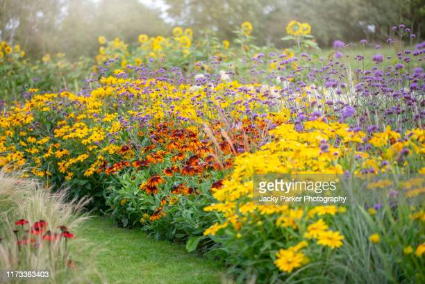 beautiful summer herbaceous border with rudbeckia yellow flowers also known as coneflower or black-eyed susan with verbena bonariensis - purpletop vervain flowers and ornamental grasses - gras stock pictures, royalty-free photos & images