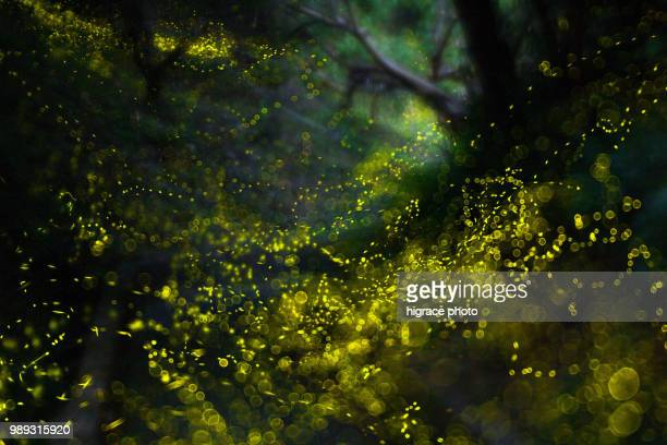 beautiful summer nights full of fireflies - glowworm stock pictures, royalty-free photos & images