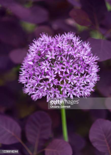 beautiful summer purple flower of giant onion growing in the spring garden - allium flower stock pictures, royalty-free photos & images