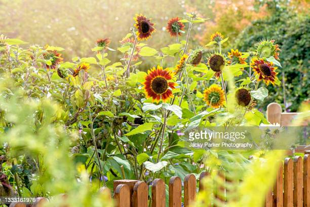 beautiful summer sunflowers - helianthus annus behind a garden fence in soft sunshine - garden stock pictures, royalty-free photos & images