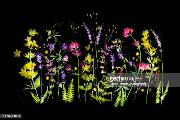 beautiful summer wildflowers arranged against a black background including lavender, yellow loosestrife and pink valerian - pianta selvatica foto e immagini stock