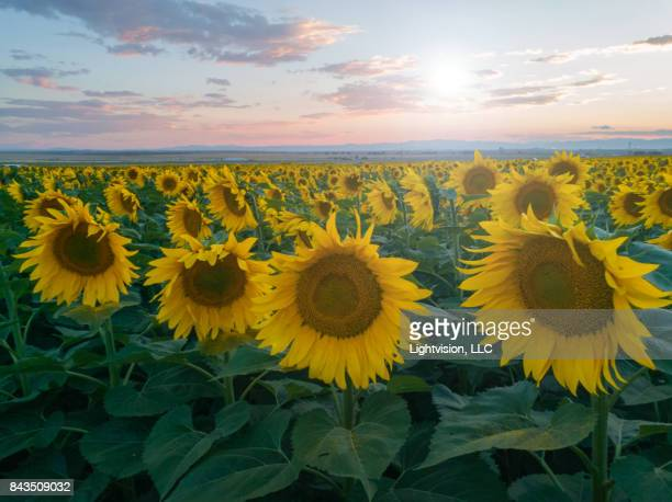 beautiful sunflower field near denver, colorado - helianthus stock photos and pictures