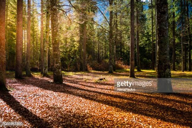 bellissima foresta autunnale soleggiata nelle alpi giulie - bosco foto e immagini stock