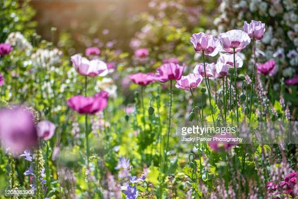 a beautiful, sunny, english cottage garden with opium poppy flowers - papaver somniferum - flower head stock pictures, royalty-free photos & images