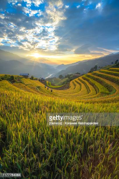 a beautiful sunset at the rice field and the villager walking on the terrace - mù cang chải stock pictures, royalty-free photos & images