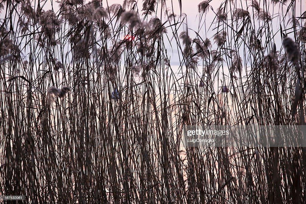 Belo pôr do sol em reeds : Foto de stock