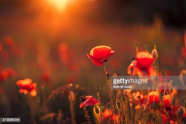 Beautiful sunset over poppy field