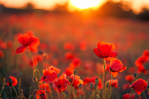 Beautiful sunset over poppy field