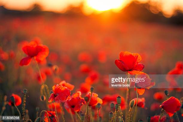 beautiful sunset over poppy field - oriental poppy stock pictures, royalty-free photos & images
