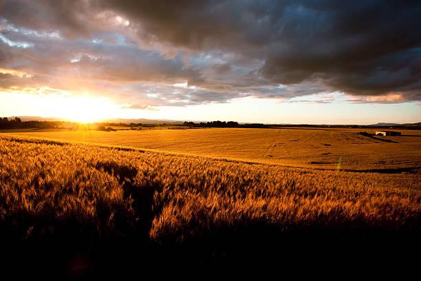 Beautiful Sunset Over Ripe Wheat Field