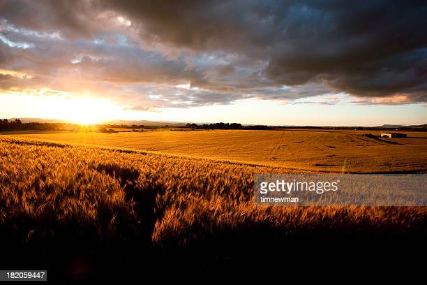 Beautiful Sunset Over Ripe Wheat Field